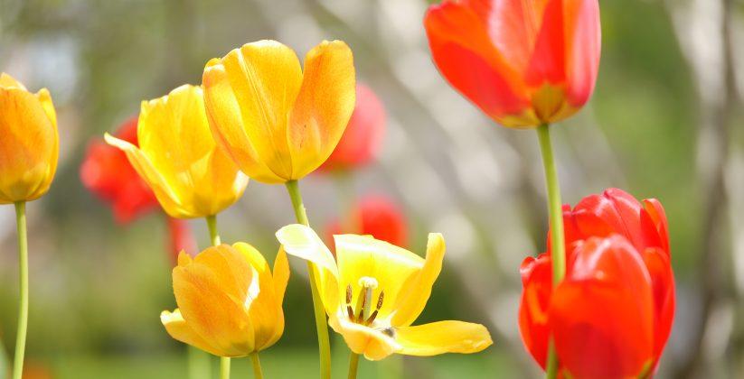 Tulipes jaunes et rouges du jardin du Domaine Breen